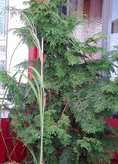 Ädelcypress, _Chamacyparis lawsoniana_, 'Triomf van Boskoop' med sirligt växtsätt. Foto: Sylvia Svensson