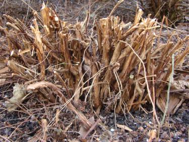 Efter beskärningen av ölandstoken återstår ca 1 dm av busken.