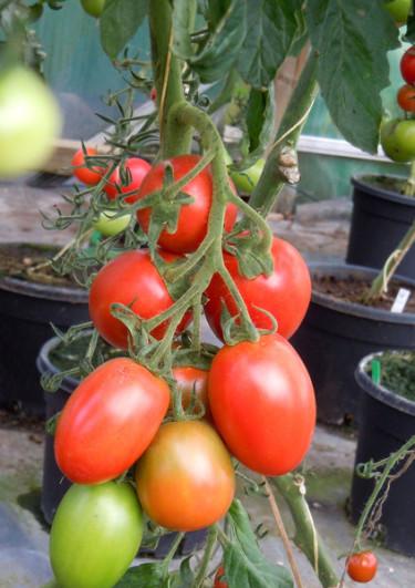 Läckra tomater! Foto: Sylvia Svensson
