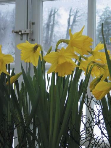 Påsklilja, _Narcissus pseudonarcissus_. Foto: Anna Skog.