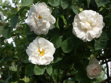 _Rosa alba_ 'Maxima', en ljuvlig namnsort av _Rosa alba_. Foto: Sylvia Svensson