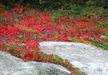 Klättervinet klär bergknallen i rött.  Foto: Sylvia Svensson