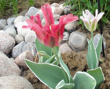 Några tulpaner blommar fortfarande!