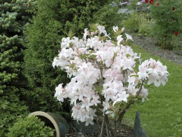 'White light's' får stora vita blommor och är mycket blomvillig.