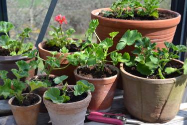 Pelagonsticklingar på väg att växa till sig för blomning hela sommaren och en bra bit in på hösten.