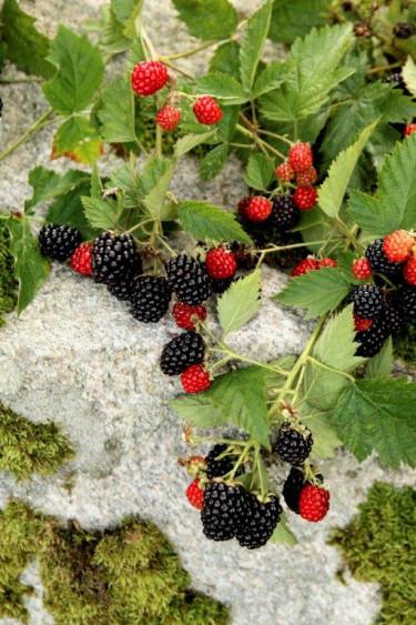 Taggfria björnbärssorten 'Loch Tay' får söta, goda bär redan i mitten av augusti. Plantera i skyddat och varmt söderläge i mull- och  näringsrik, väldränerad jord.