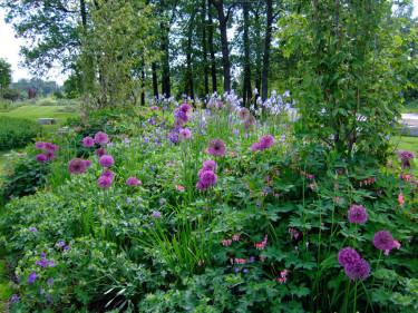 _Allium karataviense_ med **löjtnantshjärta**, **kungsnäva** och två olika **strandiris**. Foto: Sylvia Svensson