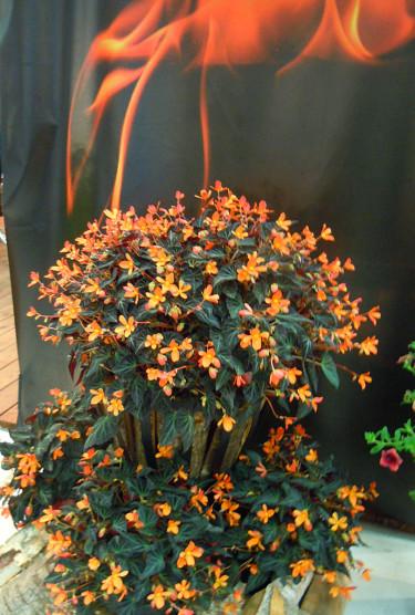 Hörnhems: Begonia 'Glowing Embers'. Foto: Sylvia Svensson