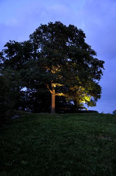 Belys ett stort träd med spotlightsFoto: Sylvia Svensson