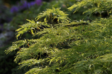 Vanlig grön 'Dissectum' med sina vackert finflikiga blad. Foto: Lars Forslin