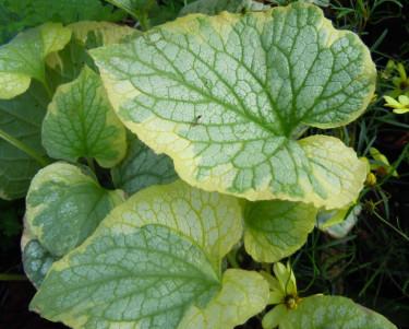 Blad av kaukasisk förgätmigej, _Brunnera macrophylla_, 'Hadspen Cream'. Foto: Sylvia Svensson