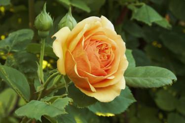 Under rosdagarna är hela Fredriksdals rosexpertis tillgänglig för besökarna.  Foto: Fredriksdal museer och trädgårdar