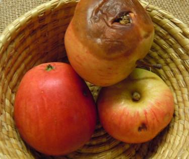 Skador av äpplevecklare, _Cydia pomonella_. Foto: Sylvia Svensson