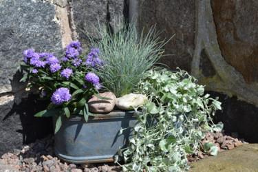 Blåsvingel, sommaraster och silvernjurvinda i sensommarsolen. Foto: Blomsterfrämjandet