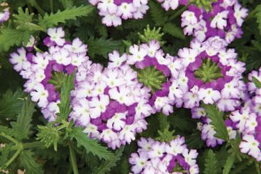 Verbena, _Glandularia Landai®_, Twister Blue. Foto: Blomsterfrämjandet/Syngenta