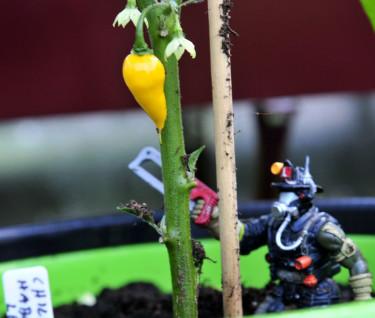 Att skörda chili kräver sin utrustning, i alla fall om man är väldigt liten...  Foto: Camilla Bergström