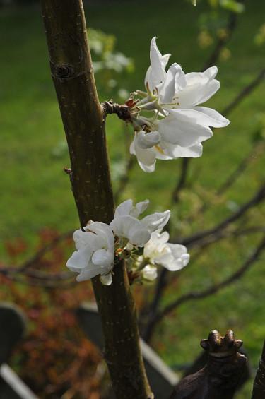 Fruktträdsblommor kan skadas av frost. Foto: Bernt Svensson