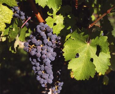 En vinranka som underhålls med vinterbeskärning ger fin skörd och en vacker planta. Foto: Wikipedia