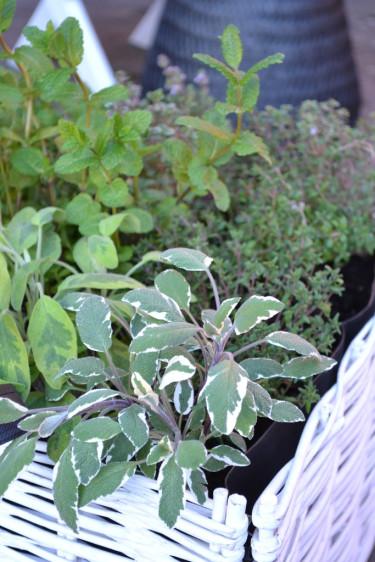 Salvia i kryddlandet.  Foto: Blomsterfrämjandet