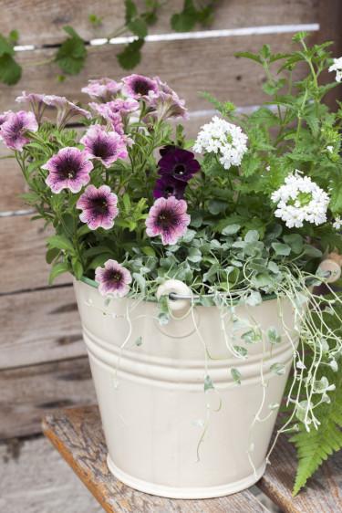 Vacker samplantering med petunia, njurvinda och verbena.  Foto: Blomsterfrämjandet/Anna Skoog
