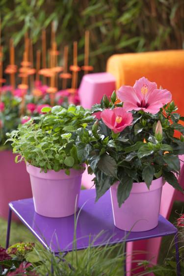 Sätt din färgstarka hibiskus i färgstark kruka - effekten blir slående!  Foto: Floradania