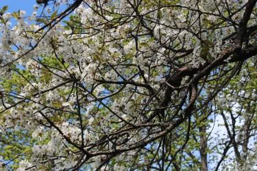 Körsbärsträden har blommat extra länge / Foto: Anna Theorin