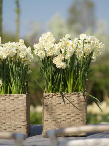 Pingstlilja, _Narcissus_, 'Bridal Crown' gör sig fint i korgar. Foto: Blomsterfrämjandet