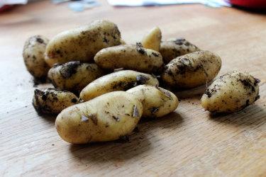 Odla potatis i hink! // Foto: Anna Theorin