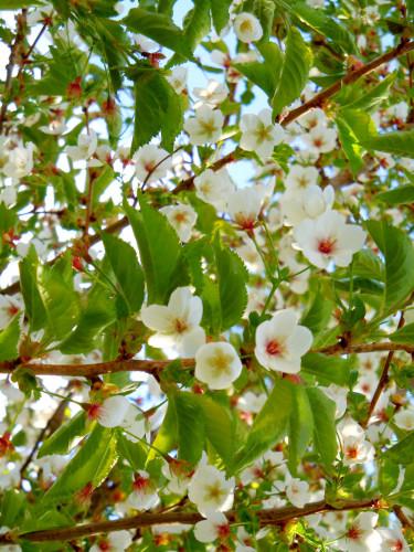 Prydnadskörsbär, _Prunus_, 'Umineko' blommar i vitt. Foto: Sylvia Svensson