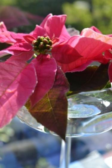 Höststjärna Princettia som snittblomma.  Foto: Blomsterfrämjandet