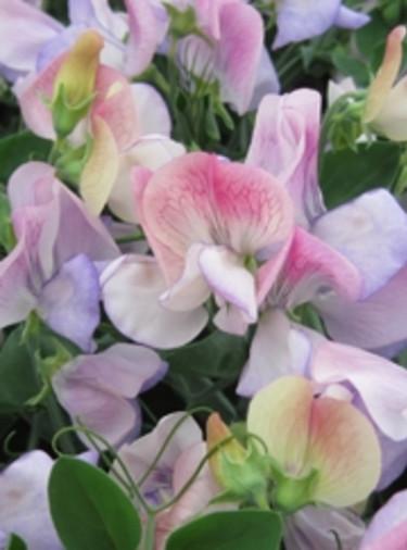 Dvärgluktärt 'Northern Light Cherub', Rara Växter