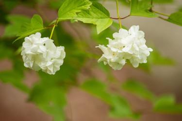 Snöbollsbuske heter den här, tror jag. Äntligen har den börjat att blomma hos mig, säger Geert. Jag grävde upp en stickling för flera år sedan. Verkligen vacker.