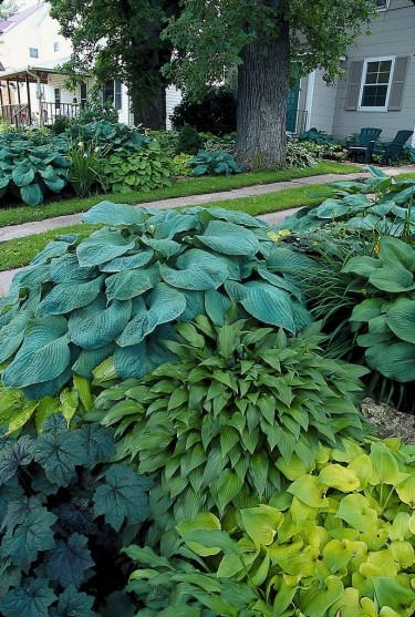 Samplanteringar av grön-, gul-, blågrönbladiga samt rödbladig alunrot. Sorter: 'May' (gul), _H. lancifolia_ (grön), _H. sieboldiana_ (blågrön).