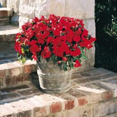 Flitiga Lisa 'Scarlet', finns att köpa i [Växter för krukor och amplar på uteplats, balkong och i växthus](http://erbjudande.odla.nu/sm/)