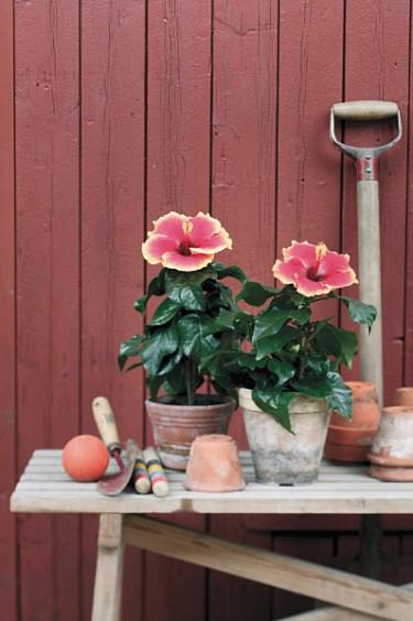 Hibiskus, _Hibiscus rosa-sinensis_.