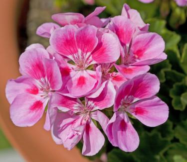 Tvåfärgad pelargon, 'Bravo light pink'.  Foto: Blomsterfrämjandet/Syngenta