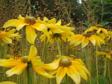 Sommarrudbeckior finns i olika gula och rödbruna nyanser. De kan fylla en hel rabatt och dansar där en sommar. Foto: Katarina Kihlberg