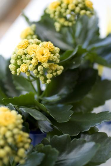 Härligt gula och små våreld _Calandiva_, på rad. Foto: Blomsterfrämjandet