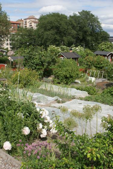 På kolonin Tanto Norra i Stockholm finns en del rena odlingslotter, utan stugor.