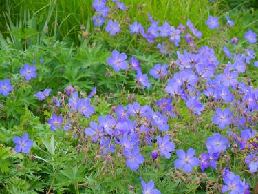 _G._ 'Johnson's Blue', trädgårdsnäva. Foto: Sylvia Svensson