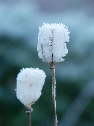 Vinterståndare av krollilja med rimfrost. Foto: Sylvia Svensson