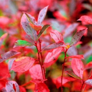 Höstfärgen på aronians blad är fantastiskt vacker.