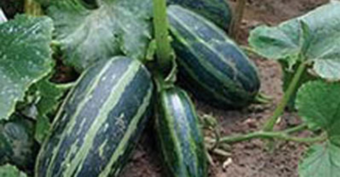**Sommarsquash 'Table Dainty F1'**