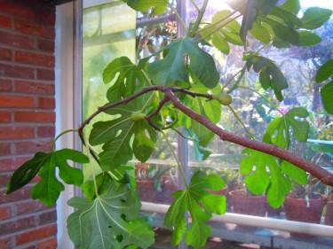_Ficus carica_, **fikon**.