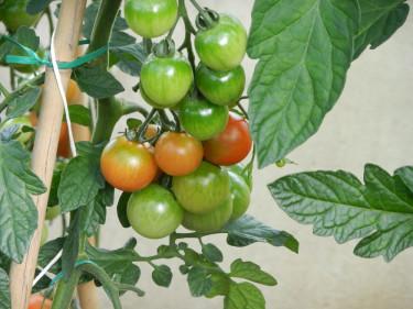 Susannes ekologiskt odlade tomater. Foto: Susanne Lundberg