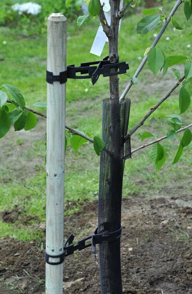 Kolla så både trädet och käppen står rakt. Foto: Bernt Svensson