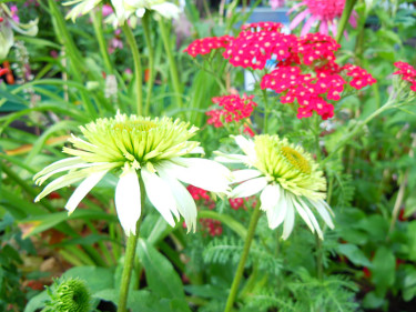 Solhatten _Echinacea purpurea_ 'Tiara', och röllekan _Achillea millefolium_ 'Petra' är lysande detaljer i höstrabatten. Foto: Sylvia Svensson