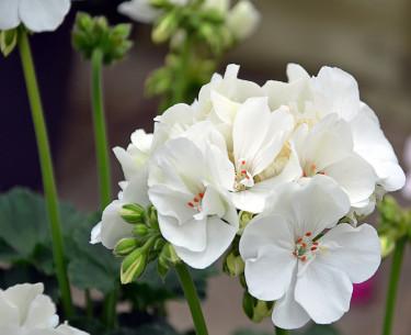 Pelargon, _Pelargonium x hortorum_, ´Fidely White´. Foto: Mäster Grön
