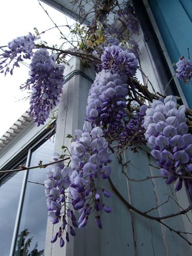 I blåregnets månad... Foto: Sylvia Svensson