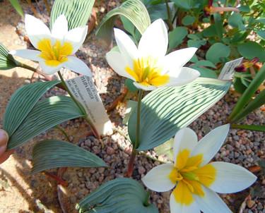 _Tulipa regelii._ Foto: Sylvia Svensson